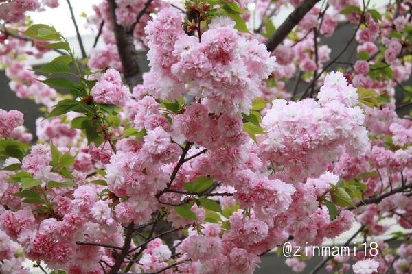 04 11_松前琴糸桜.jpg